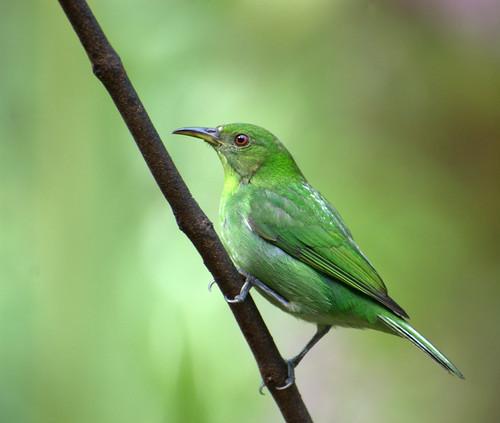 フリー画像| 動物写真| 鳥類| 野鳥| ズグロミツドリ| 緑色/グリーン|      フリー素材|