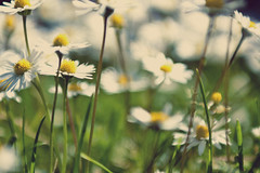 Daisy Forest (Michelle in Ireland) Tags: flowers white green floral grass yellow daisies bright bokeh layingdown farewelltosummer layinginthegrass bej hellotoautumn