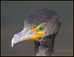 "The emerald green eyes...... (Joalhi ""Around the World"") Tags: park eyes florida national everglades emerald cormoran canon50d"