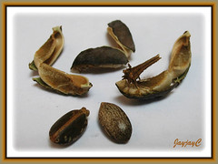 Ripened fruit/seed pod of Jatropha podagrica (Gout Plant, Buddha Belly Plant) explode to release seeds