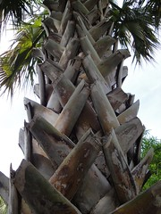 Palm Tree, San Antonio