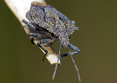 Stink Bug # 2 (Emery O) Tags: macro wisconsin canon stinkbug 180mm 50d marinettecounty macrolife