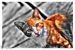 Sweet Lil Guardian (HDR) (Julian Evil) Tags: wild cat canon julian eyes pussy evil hdr photomatix evilphotography bestofcats impressedbeauty besthdr canoneos40d hellishdarkenedrealities julianabedinaj julianevil boc1009