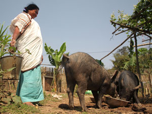 Pig marketing opportunities in Assam and Nagaland