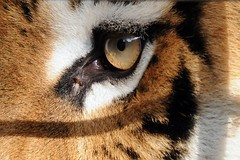 Tigerauge / eye of the tiger