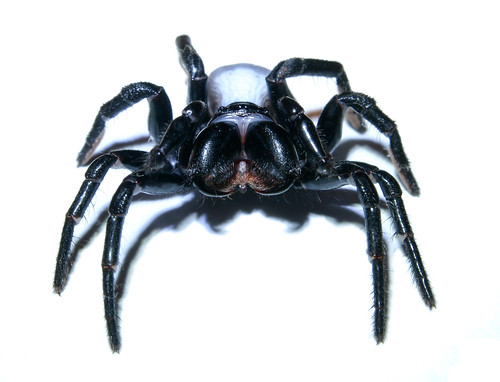 blackspider