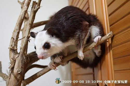 李梅子爬樹
