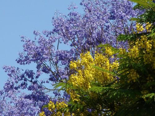 South american sisters guapuruvu yellow and jacaranda purple south american sisters guapuruvu yellow and jacaranda purple flowering trees in mightylinksfo
