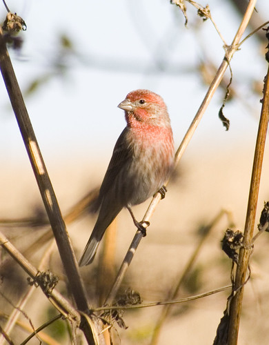 house finch male_2