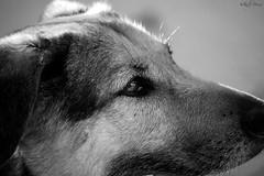kira s/w (buchsammy) Tags: bw dog black animal eyes hund sw kira augen weiss nase schwarz tier mischling zillhausen weis