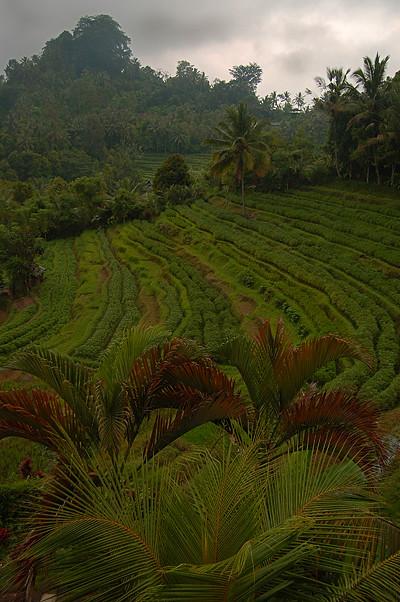_Bali_rice_field_2_