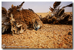 Why people kill birds? (ibrahem N. ALNassar) Tags: canon eos d 5 n 5d kuwait usm ef 1740mm f4    alnassar   ibrahem  adigicam