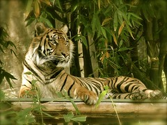 Satu, Sumatran Tiger, Taronga Zoo (ellen.patrice) Tags: sumatrantiger satu tarongazoo