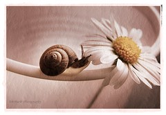 A tiny snail in a big world! (B@rbar@ (Barbara Palmisano)) Tags: pink flower cute texture nature petals flora snail rosa natura petal tiny daisy fiore petali escargot soe schnecke antenne caracol margherita ohhh bicchiere piccola chiocciola greatphoto cargol laclassenonacqua abigfave diamondclassphotographer overtheexcellence theperfectphotographer superstarthebest