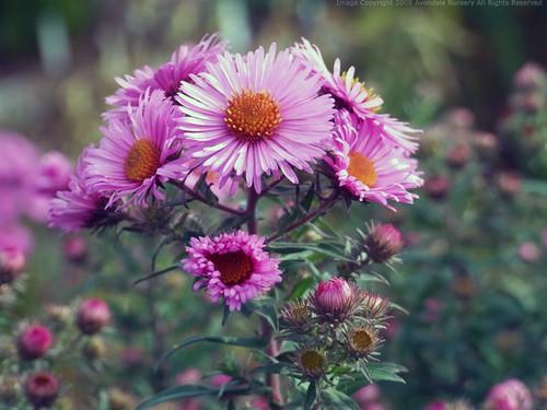 SYMPHYOTRICHUM novae-angliae 'Rose Williams'
