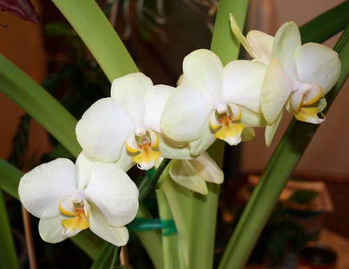 White Orchids 18
