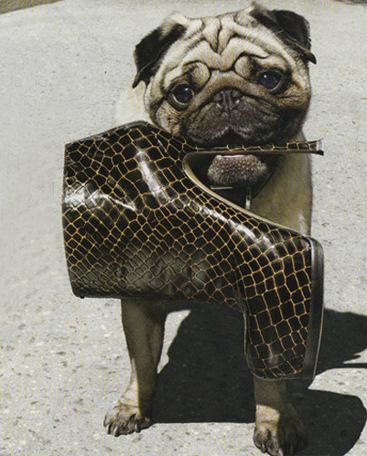 glam pug