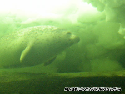 Fatty sea lion