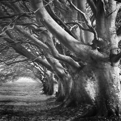 The Beech Avenue (Martin Horton ) Tags: trees monochrome dorset nationaltrust beech blackdiamond kingstonlacy beechavenue artlibre specialpicture visiongroup platinumheartaward thesecretlifeoftrees obramaestra