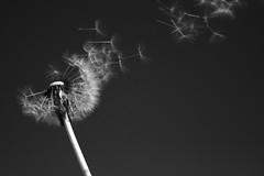 L'pi s'enlise (Mistapurple) Tags: bw flower blancoynegro blanco fleur de vent noir y wind noiretblanc negro flor viento poetic dandelion seeds leon et blanc nero diente pissenlit clich potique poetico