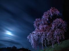 Moon and Cherry Blossoms (nadonado) Tags: longexposure pink flowers blue cloud moon flash hasselblad moonlight cherryblossoms halfmoon nightimage hcd28mm overhanggingcherryblossoms