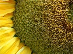 Zonnebloem in de moestuin