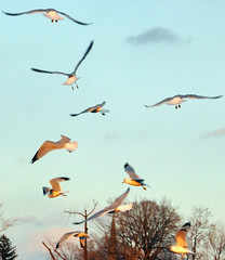 queued for landing (Wils 888) Tags: seagulls bird birds nikon action seagull landing synchronized d90 queued nikond90