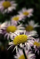 scruffy beauty (daintee) Tags: pink flowers yellow daisies dof purple bokeh daisy bent scruffy unconventional scraggly naturewatcher