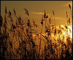 Golden dreams.... (Explored.....Front Page!) (Levels Nature) Tags: uk sunset england sun colour nature silhouette reeds gold golden reserve somerset explore frontpage skt rspb greylake natureselegantshots
