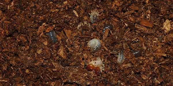 カブトムシの1齢幼虫たち