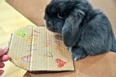 Birthday Bunny (rabbitier) Tags: blue rabbit bunny fluffy lapin usagi hollandlop うさぎ 兎