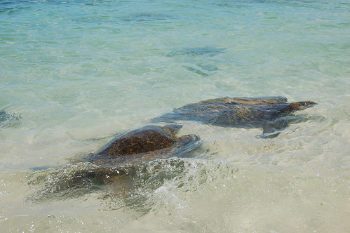 Two turtles swimming