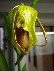 Phragmipedium Grande
