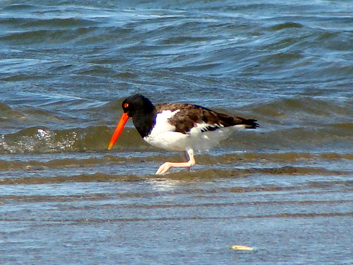 other oystercatcher