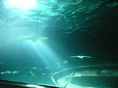 Manta Rays swimming with fish (stonethecrow) Tags: australia seacreatures sydneyaquarium