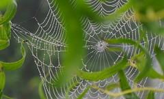 Willow Web (gairid1791) Tags: dew spiderwebs webs webbing spidersilk