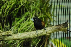 black headed nun (Purple Moon Designs) Tags: black nun aviary headed