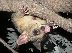 Common Brushtail Possum (Trichosurus vulpecula) (Heleioporus) Tags: possum nsw common marsupial cronulla brushtail vulpecula trichosurus