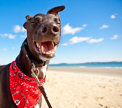 Heeeey! (teenytinyturkey) Tags: dog greyhound boston puppy fun happy chelsea play adopt doggie revere tobin reverebeach resuce greyhoundwelfare