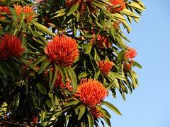 Queensland Waratah-tree - by Tatters:)