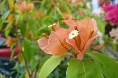 Peach Bougainvilla (shalumette) Tags: flowers bougainvilla marinduque boac homersiliad