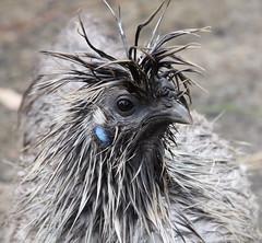 wet silkie hen (cskk) Tags: chicken wet grey splash hen bearded poulet bantam silkie pullet