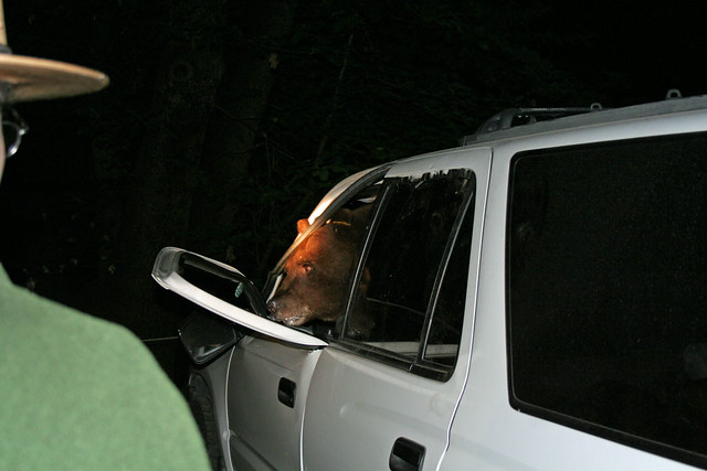 Bear leaving a vehicle after a break in. Photo by Tammy Evans