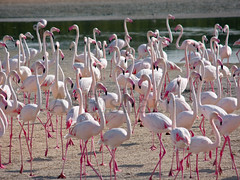 Flamingoes.......(Ras Al Khor Wildlife Sanctuary ) (Sumaya Al Bishari) Tags: pink water flamingoes al dubai wildlife uae ras sanctuary   khor