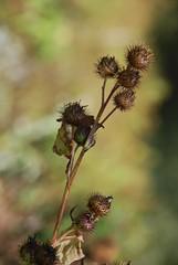 Death (Photonoumi) Tags: autumn flower automne bokeh dry distillery