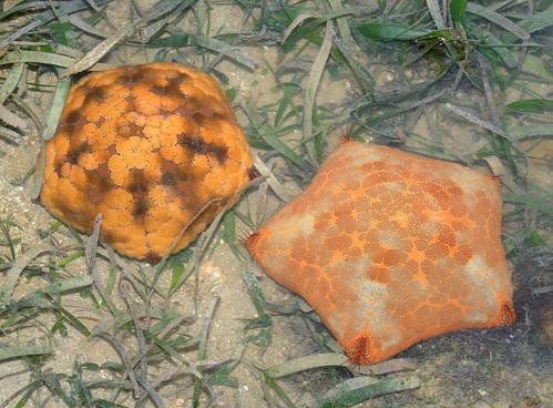 Cushion stars (Culcita novaeguineae)