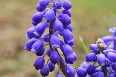 Backyard Grape Hyacinths 007 (Chrisser) Tags: flowers grapehyacinths muscari bulbs asparagaceae nature ontario canada gardening garden fourseasons spring closeups canonefs1855mmf3556islens canoneosrebelt1i