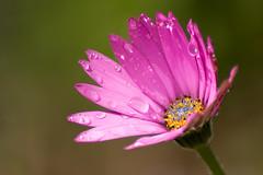 Sparkle (RicHampton) Tags: pink flowers macro sparkle waterdrops tamron 70300 sonya580