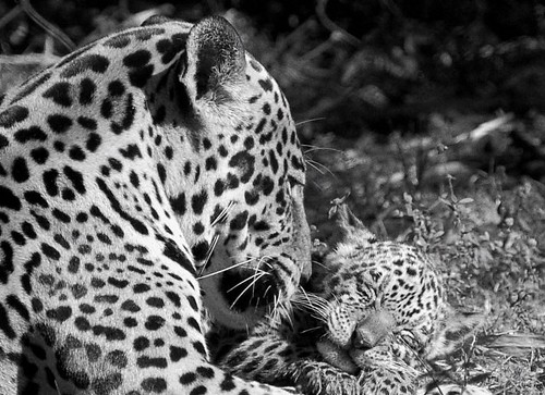 Little jaguar and his mother.