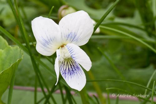 Violet (genus Viola)-7.jpg